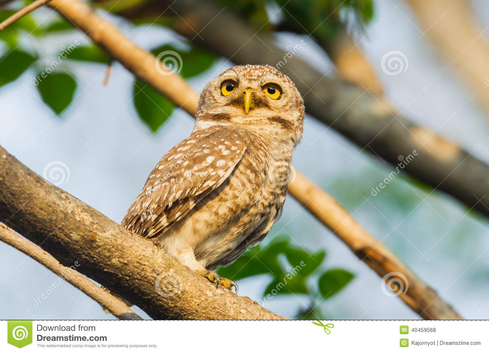 Prickig owlet