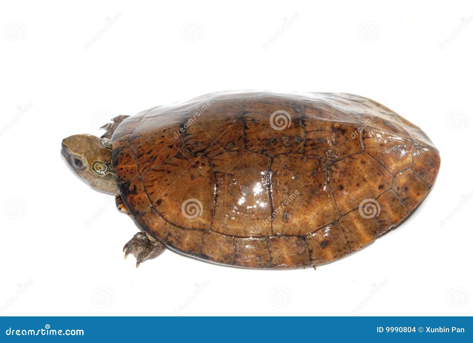 Prickig sköldpadda för öga fyra