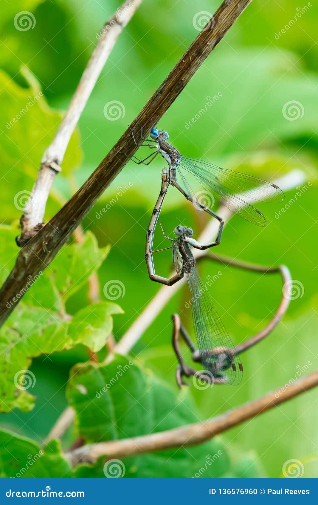 Prickig spridning congener Wing Damselfly - Lestes