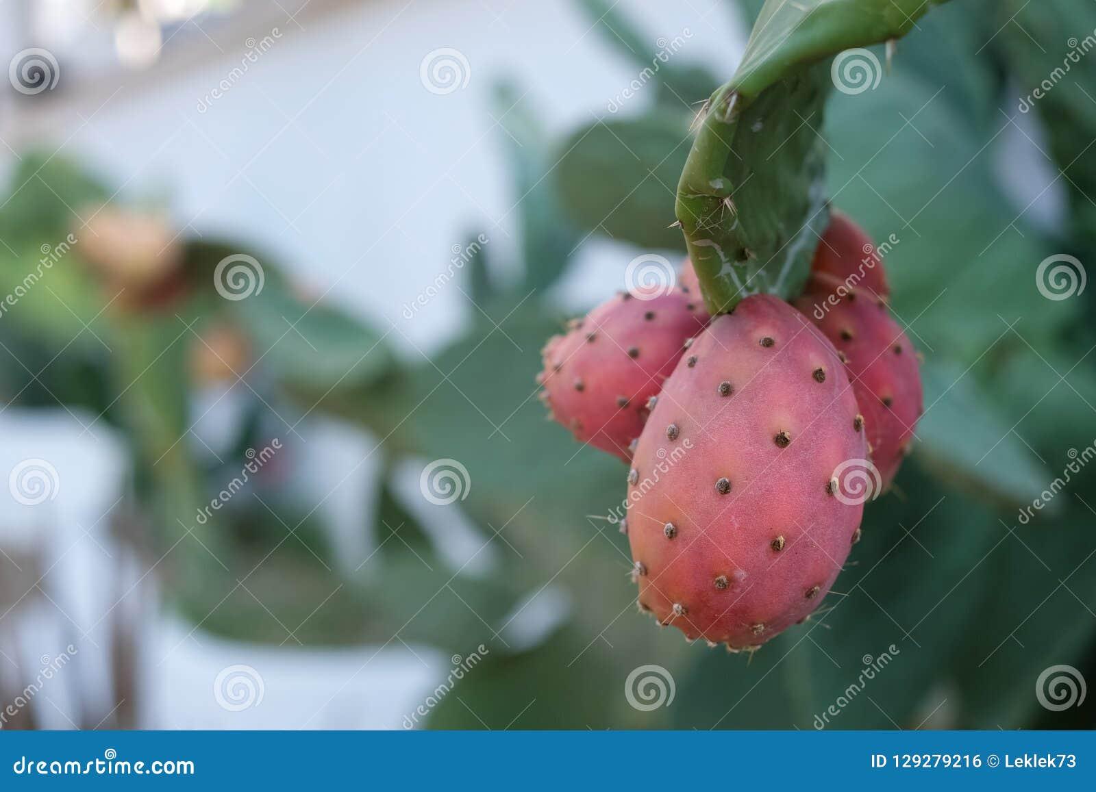 Prickly pear cactus fruit growing near Mattinata, Puglia, Italy