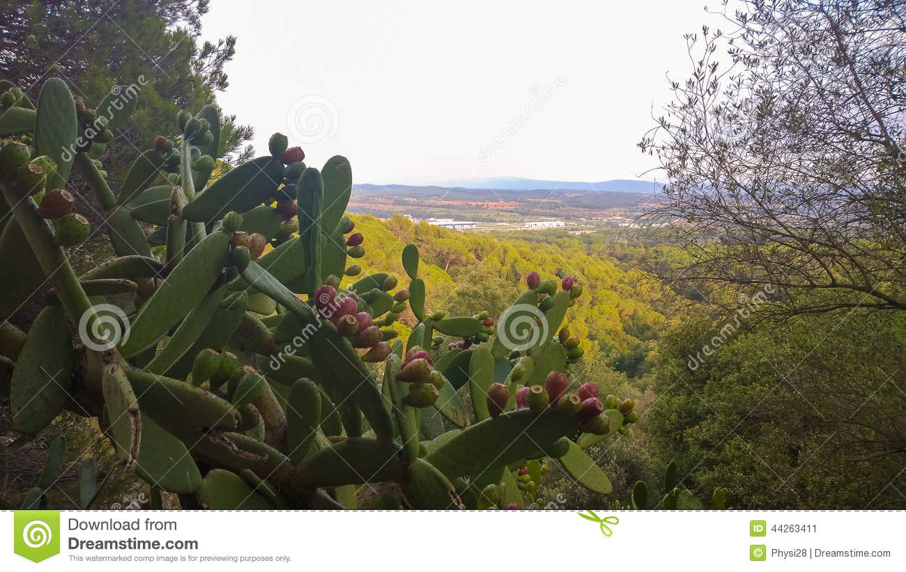Prickly Pears cactus plant with landscape