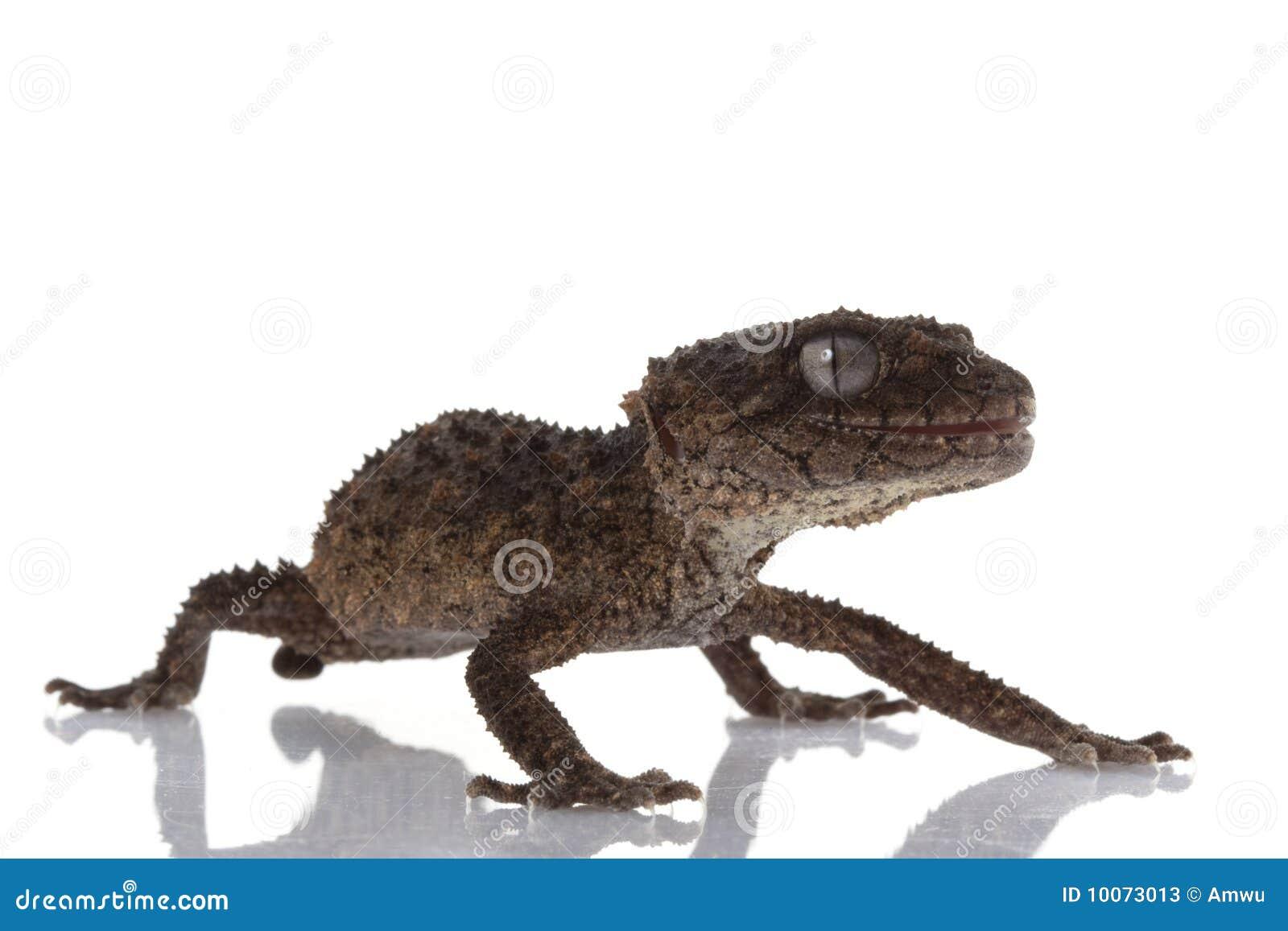 Prickly Rough Knob Tailed Gecko Stock Photos Image 10073013
