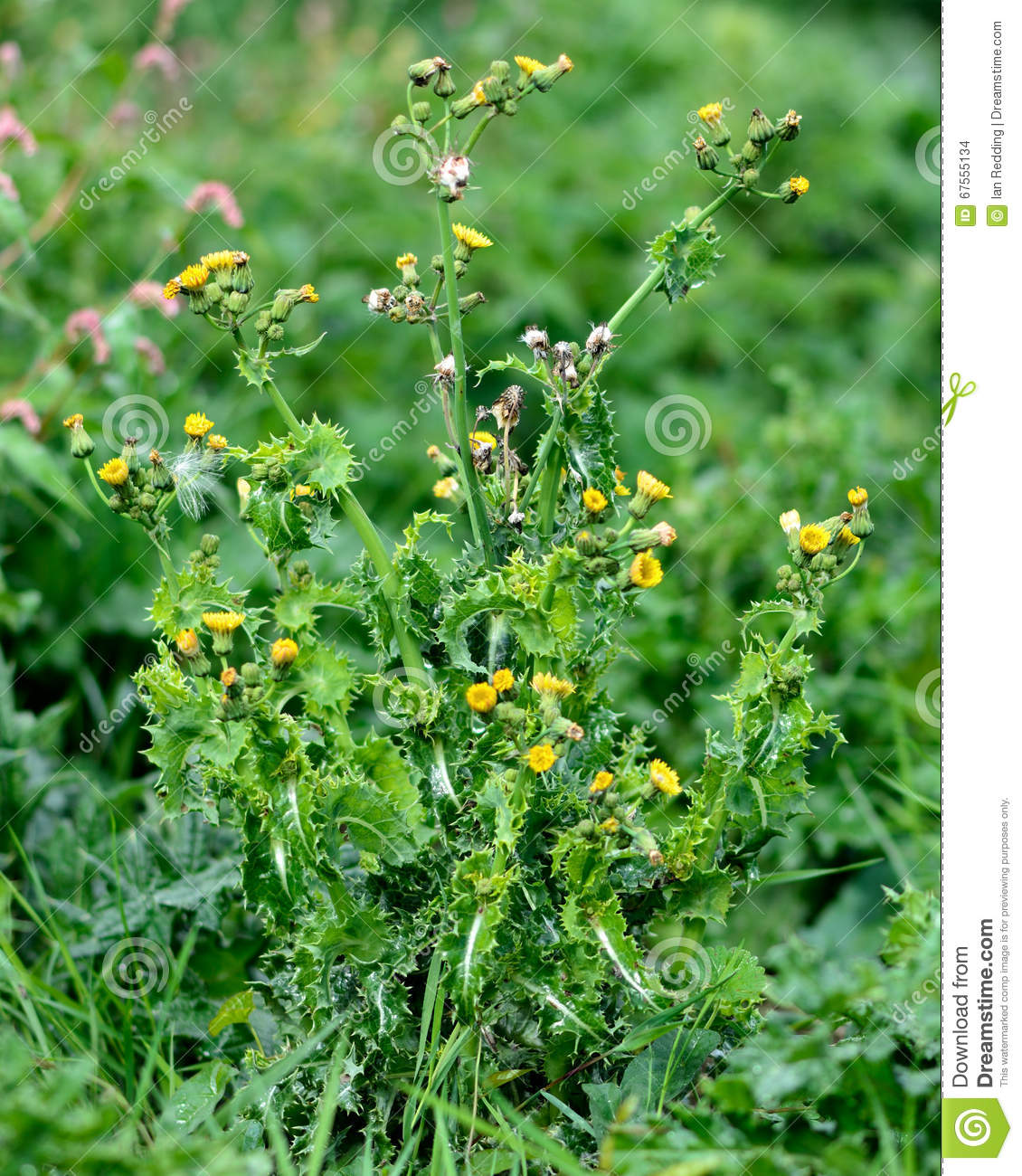 Prickly sow thistle sonchus asper stock photo image of download comp mightylinksfo