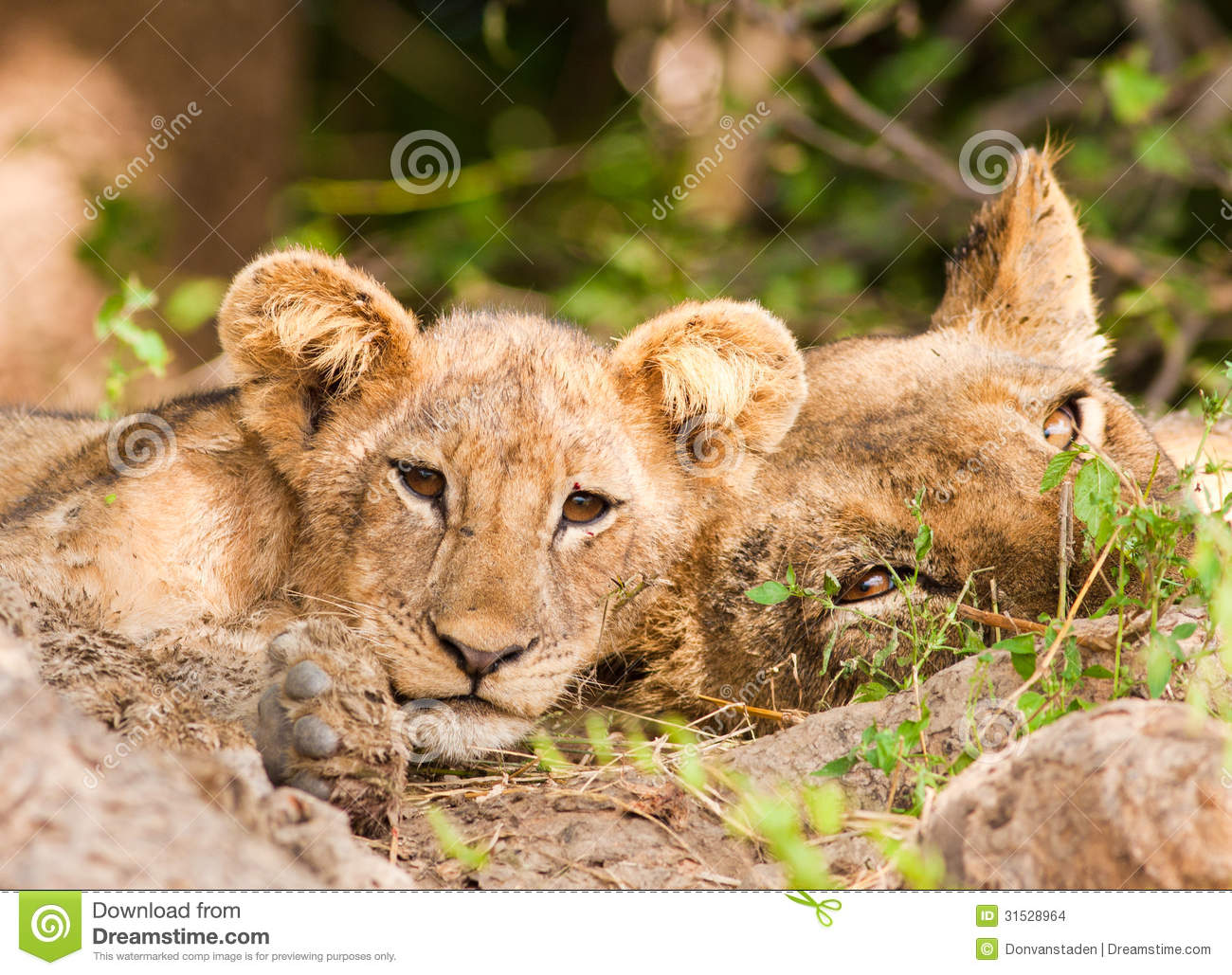 Pride of lions with cute lion cub