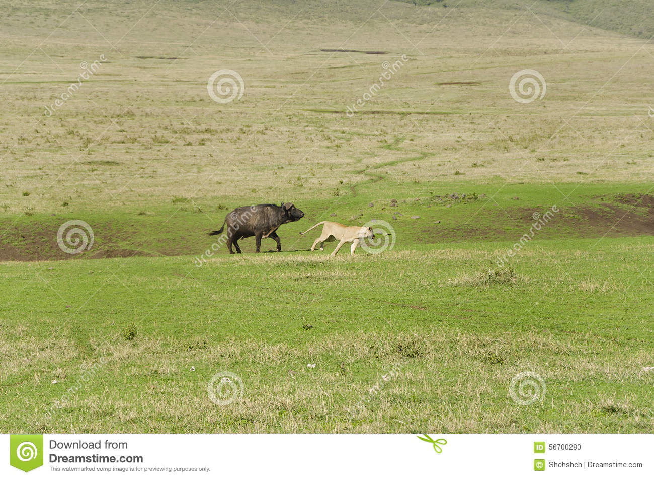 The Pride Of Lions Hunting Of Buffalo Stock Photo - Image of