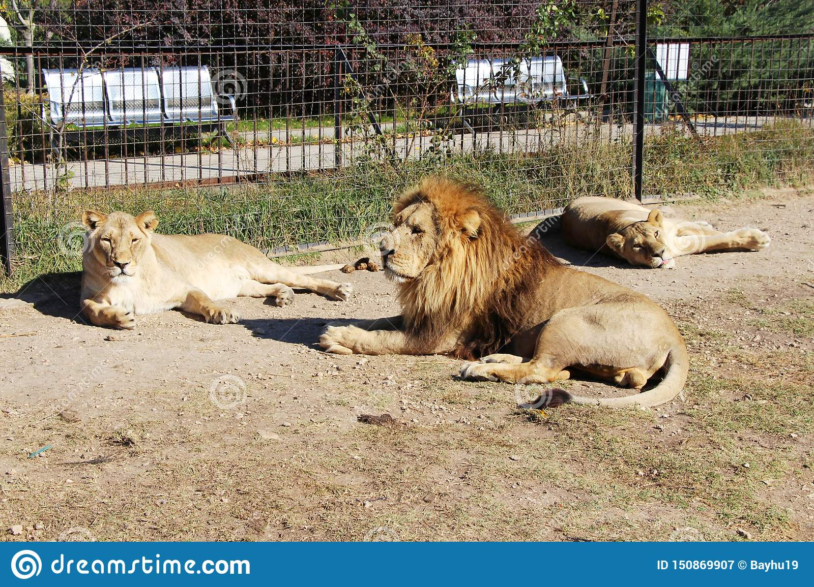 Pride of lions rests next to the bars of fence