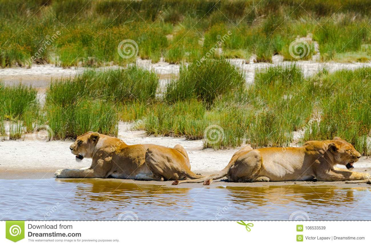 Pride of lions on shore of small pond. Serengeti, Africa