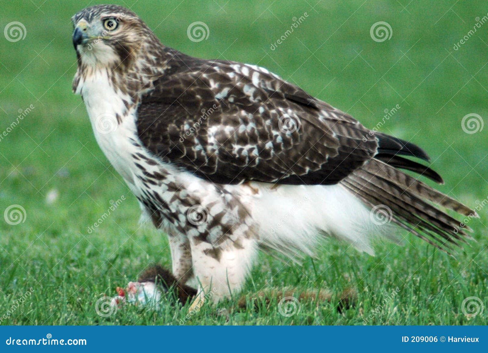 Prima colazione del falco