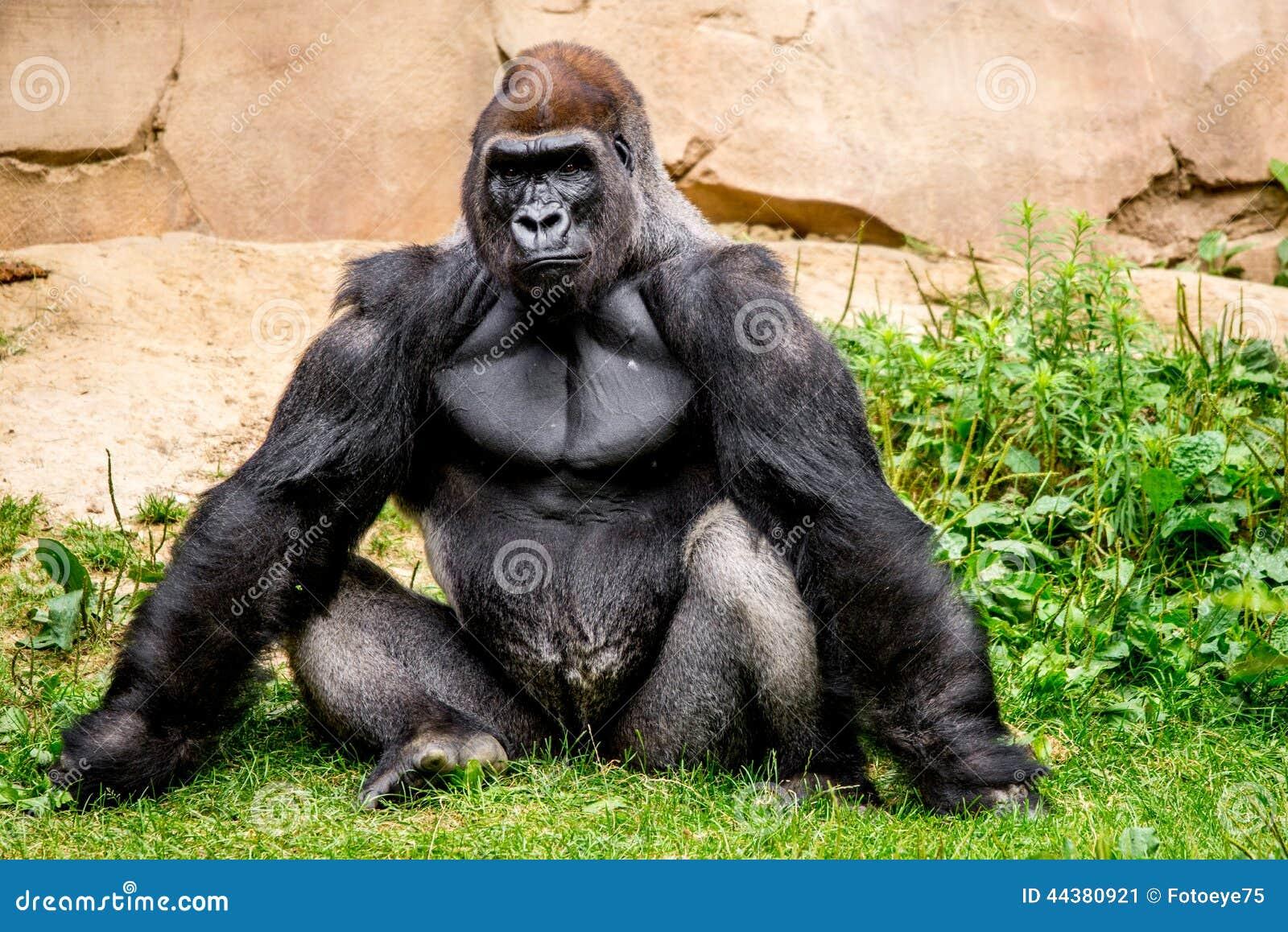 Primat de gorille