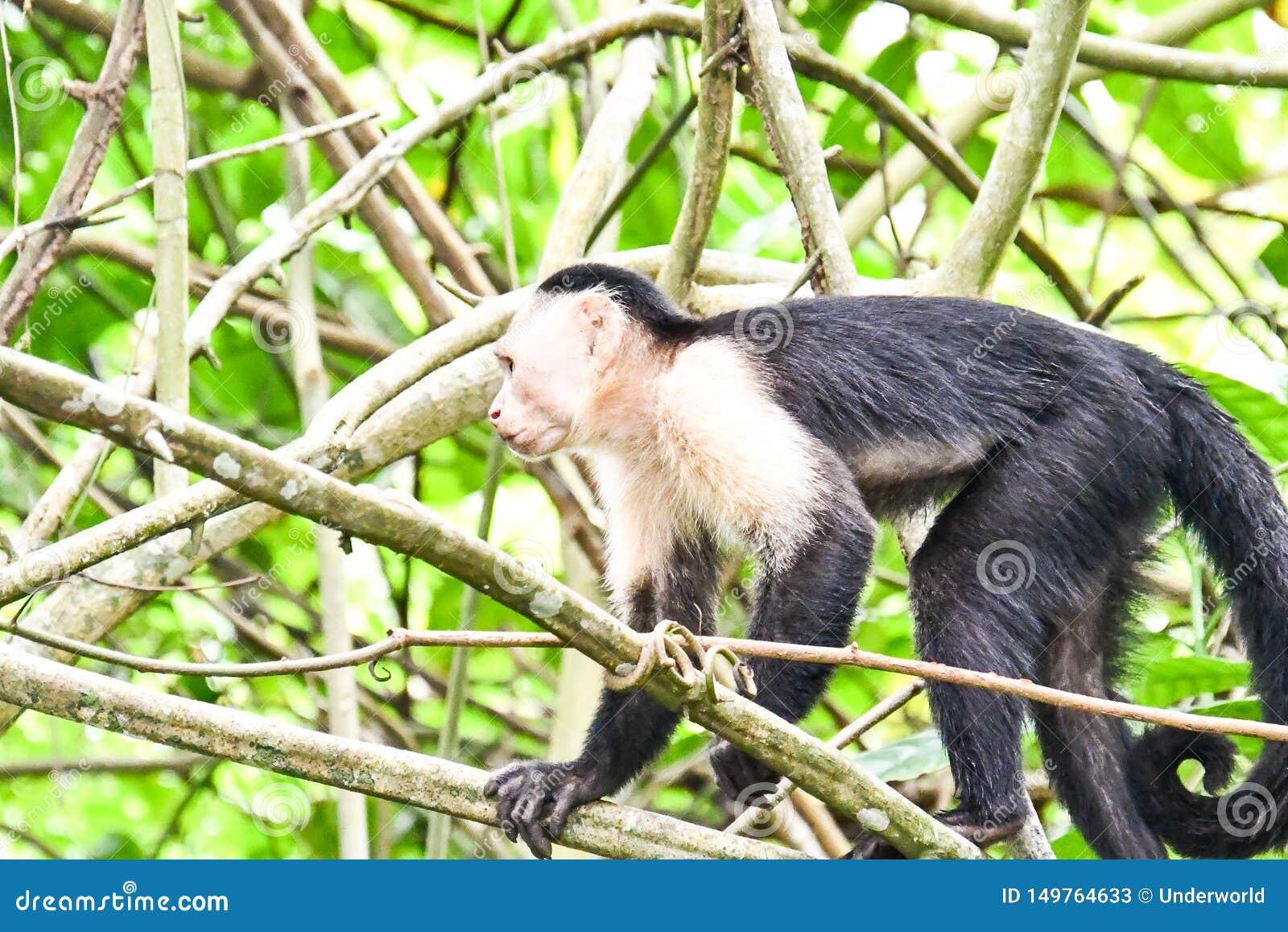 Primat de singe de capucin, dans la r?gion Costa Rica Am?rique Centrale de volcan d Arenal