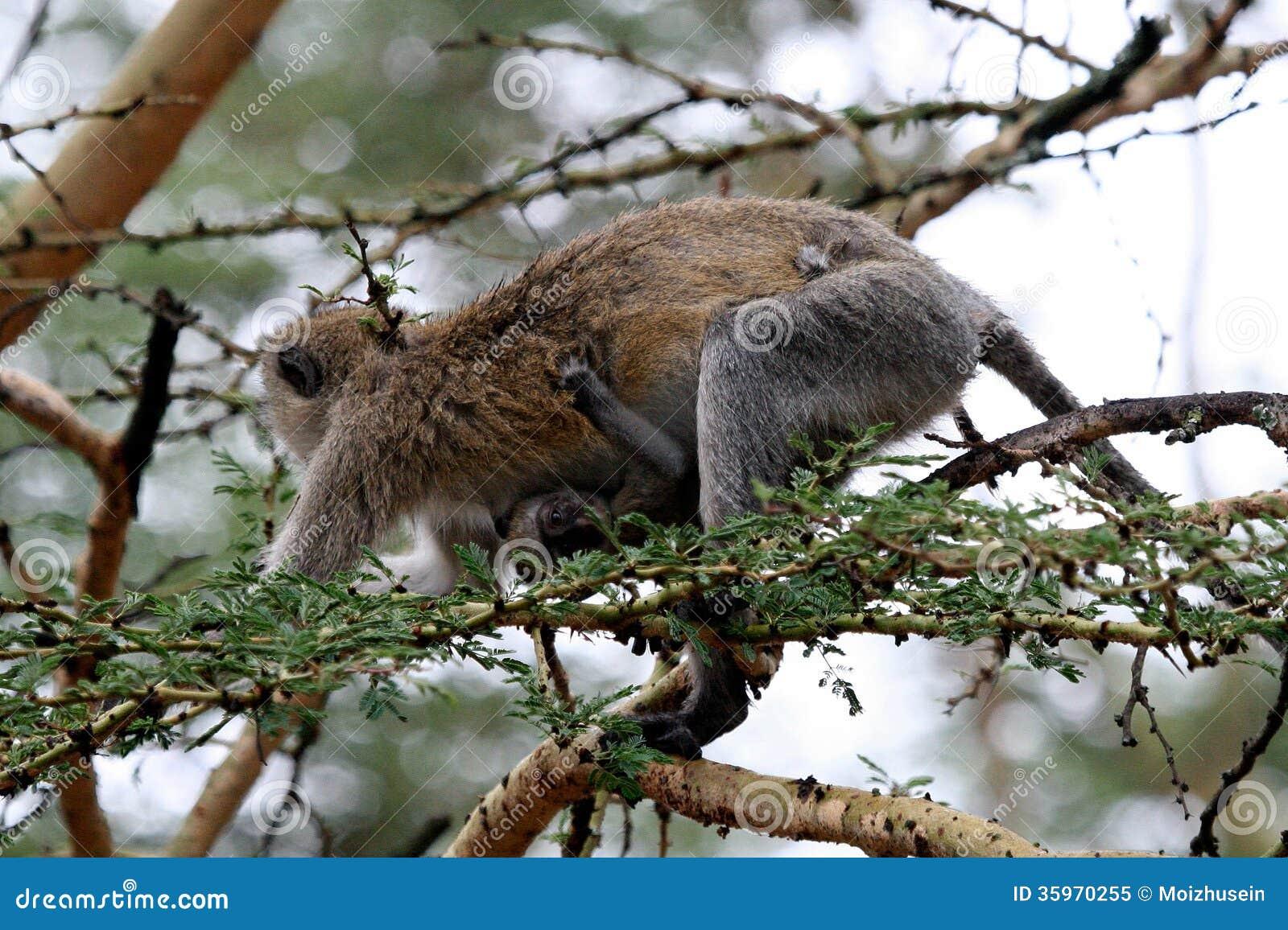Primatas de Tanzânia