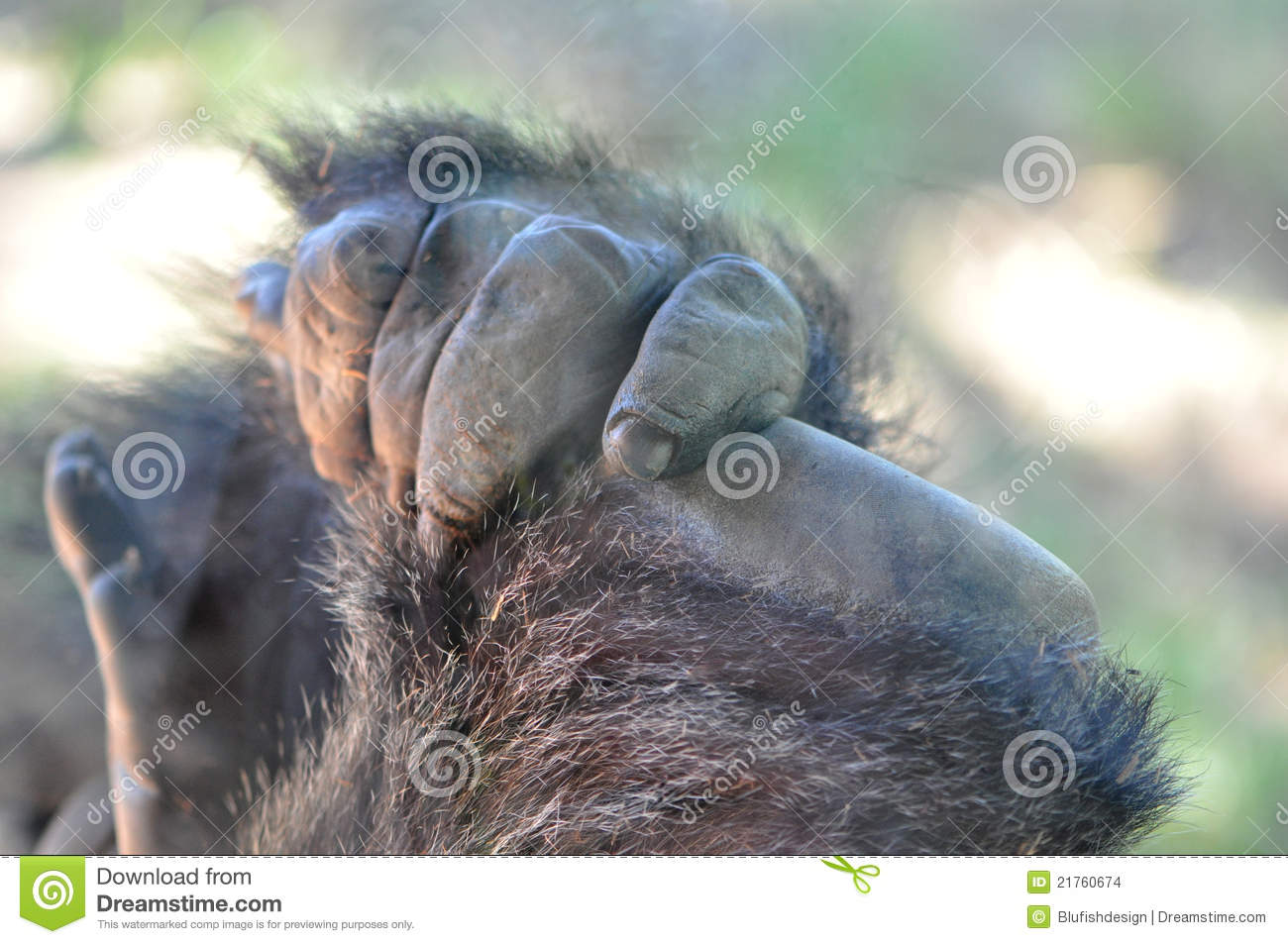 Download Primate Hand stock photo. Image of monkey, primate, horizontal - 21760674