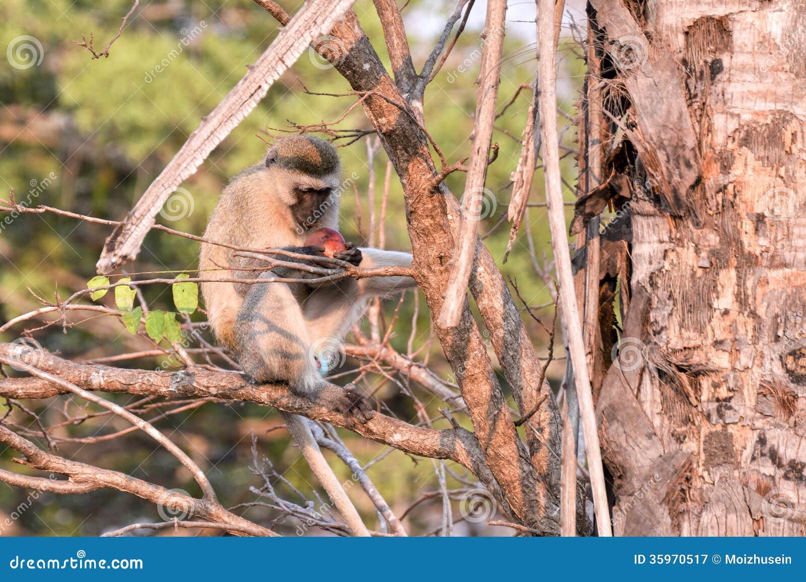 Primates de Tanzania