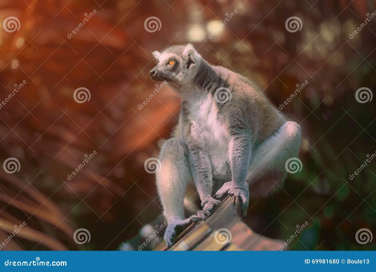 Primats qui aime le soleil Anneau-coupés la queue de lémur s asseyant parmi des arbres