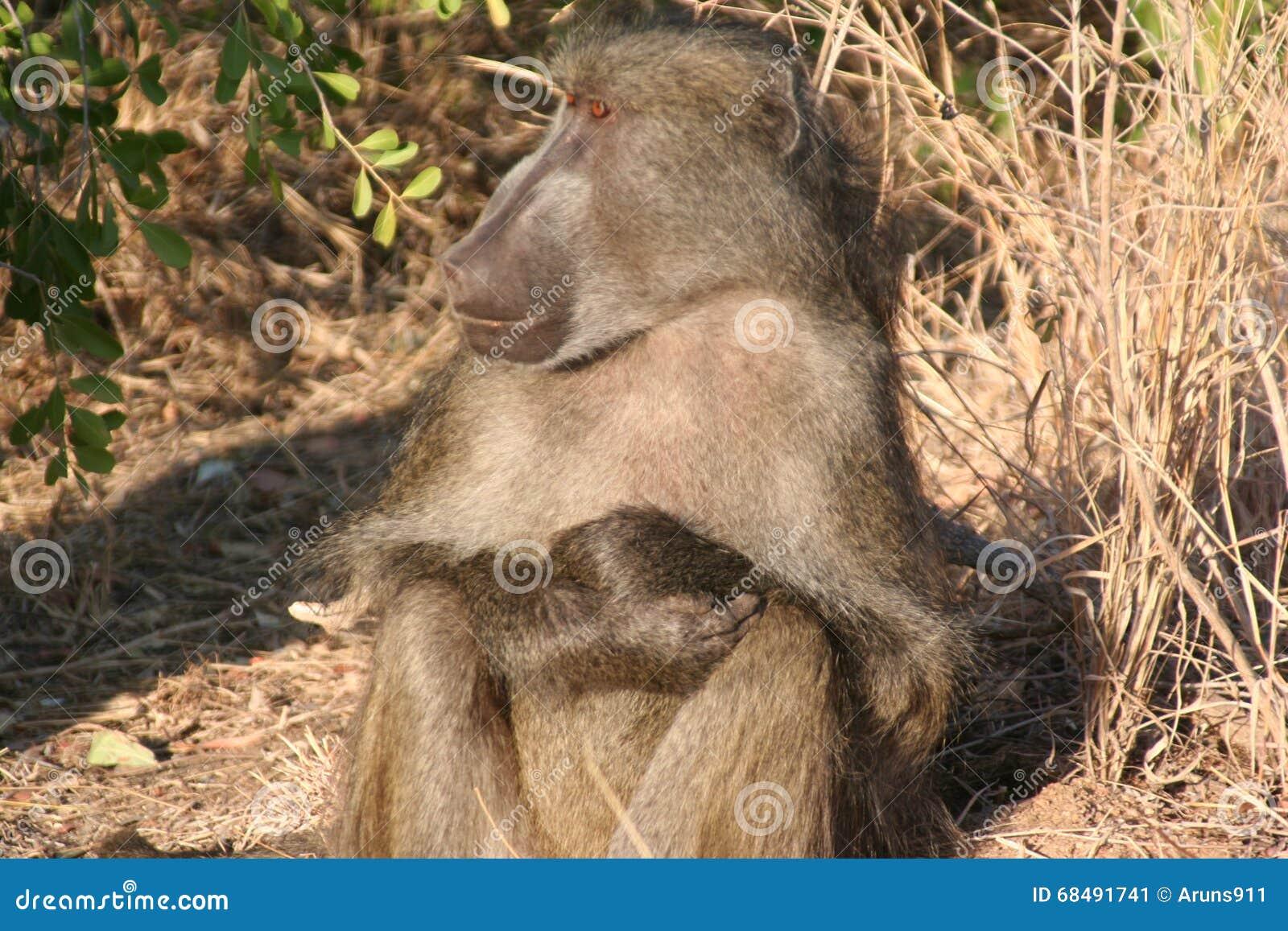 Primats sud-africains