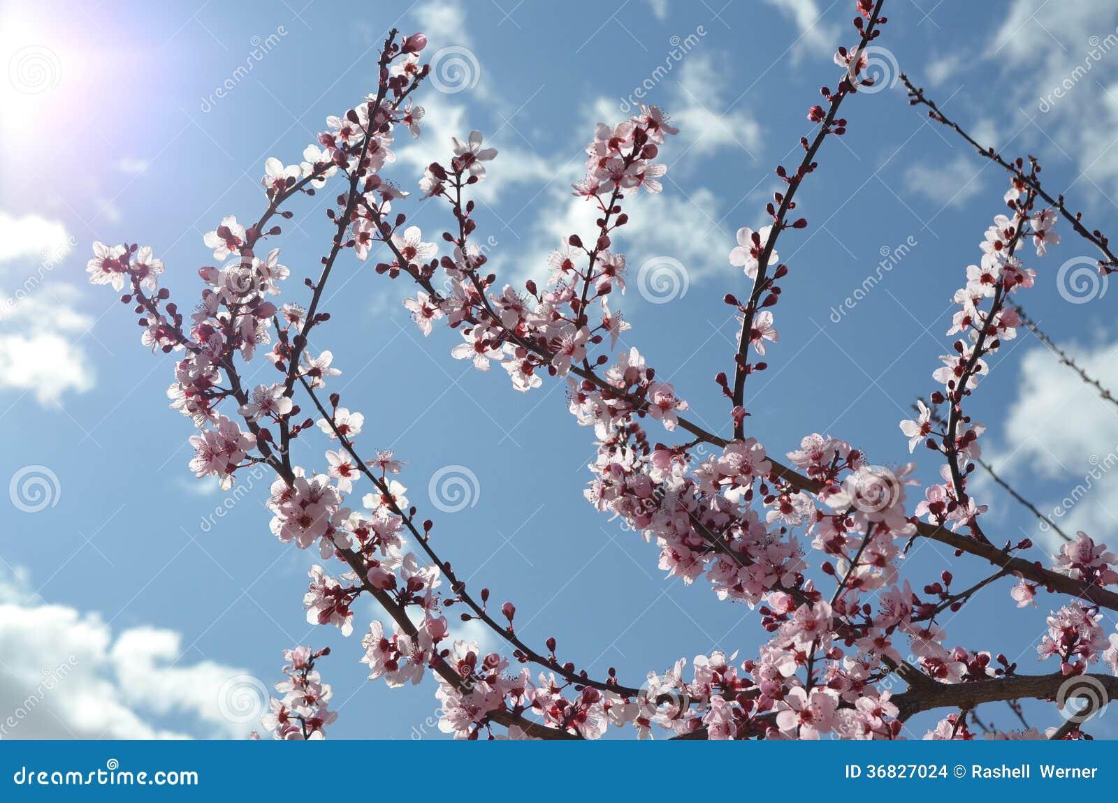Primavera Cherry Blossoms