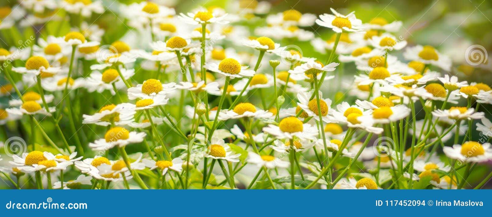 Primavera del verano de la luz del sol de la planta de la margarita del campo de la manzanilla de las flores salvajes