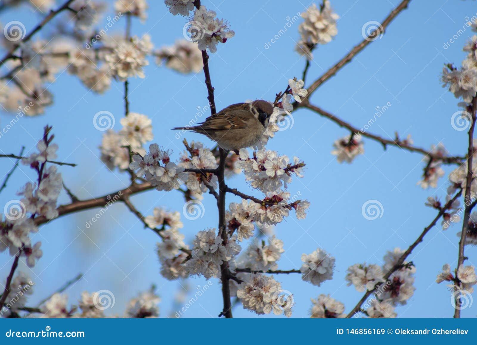 Primavera feliz del gorrión