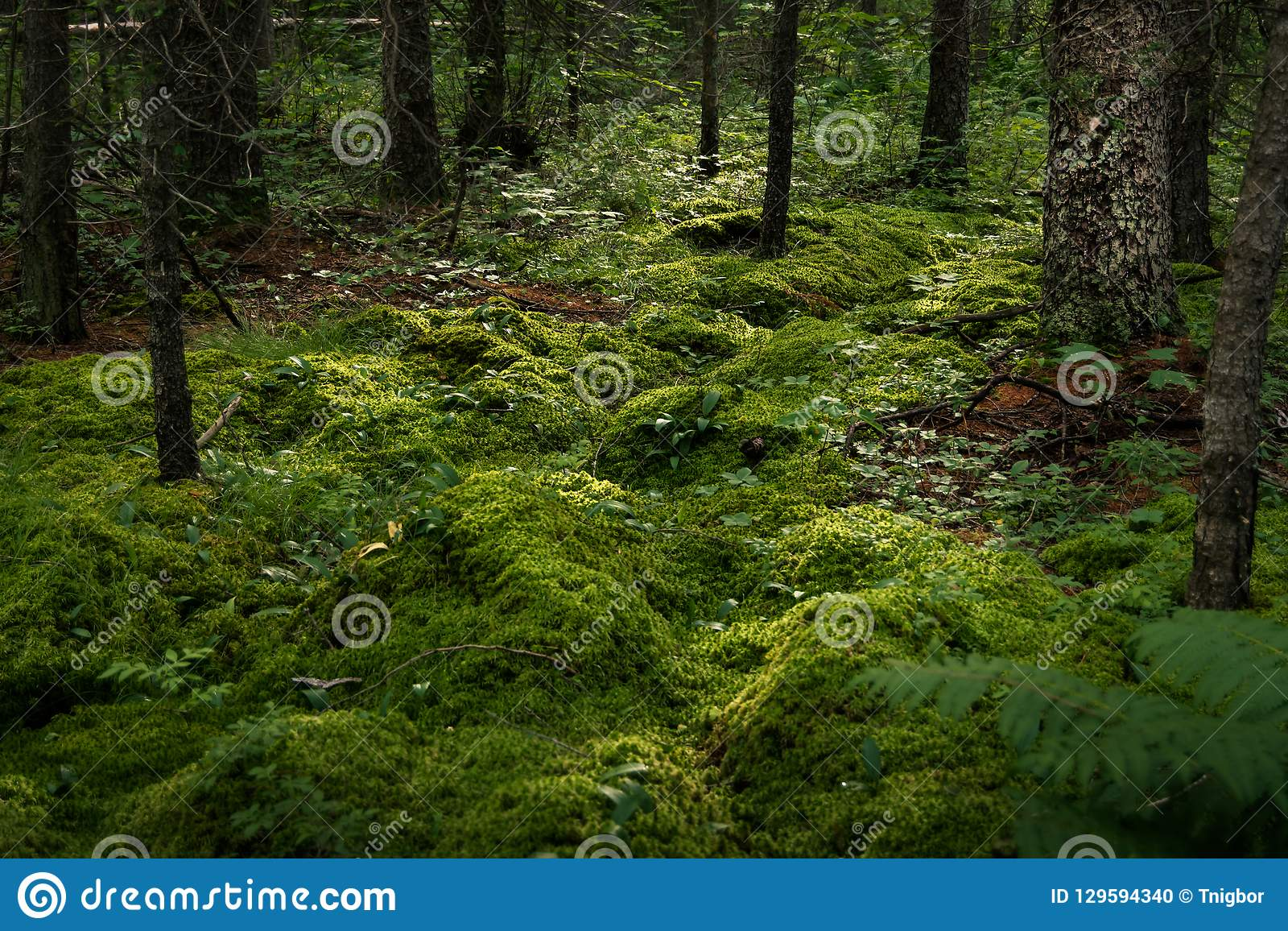 Primavera Moss Forest