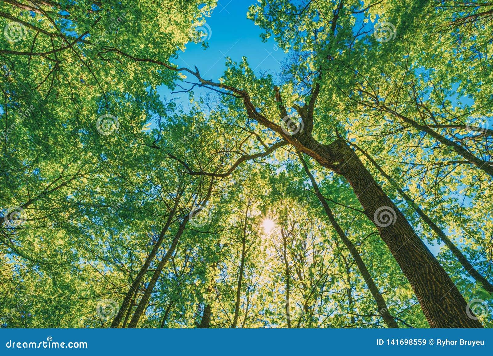 Primavera Sun que brilla a través del toldo de árboles altos Ramificaciones superiores del árbol