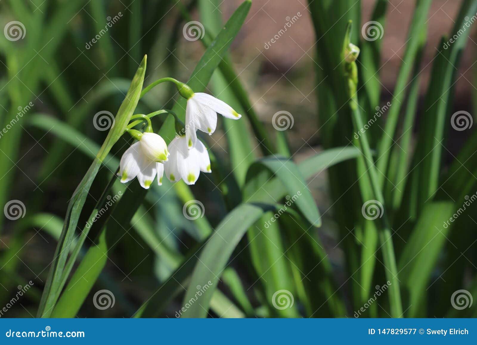 Primeira flor bonita da mola