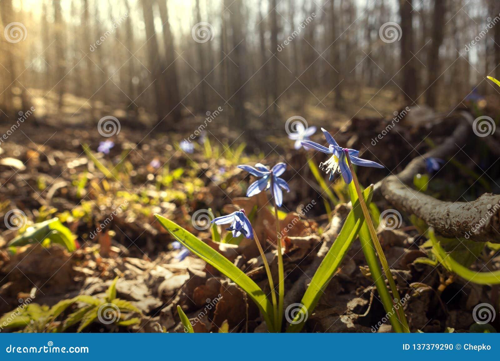 Primeira flor da mola, flores azuis da florescência de Scilla Squill