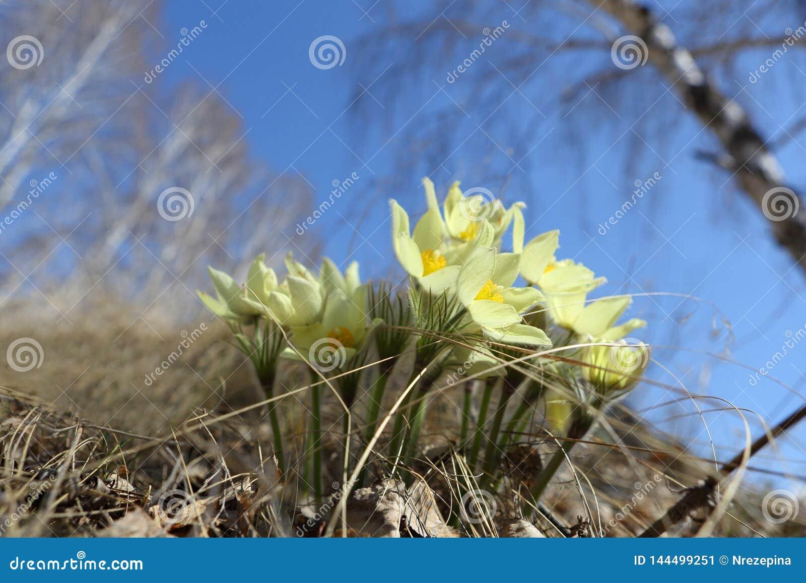 Primeiras flores da mola do campo