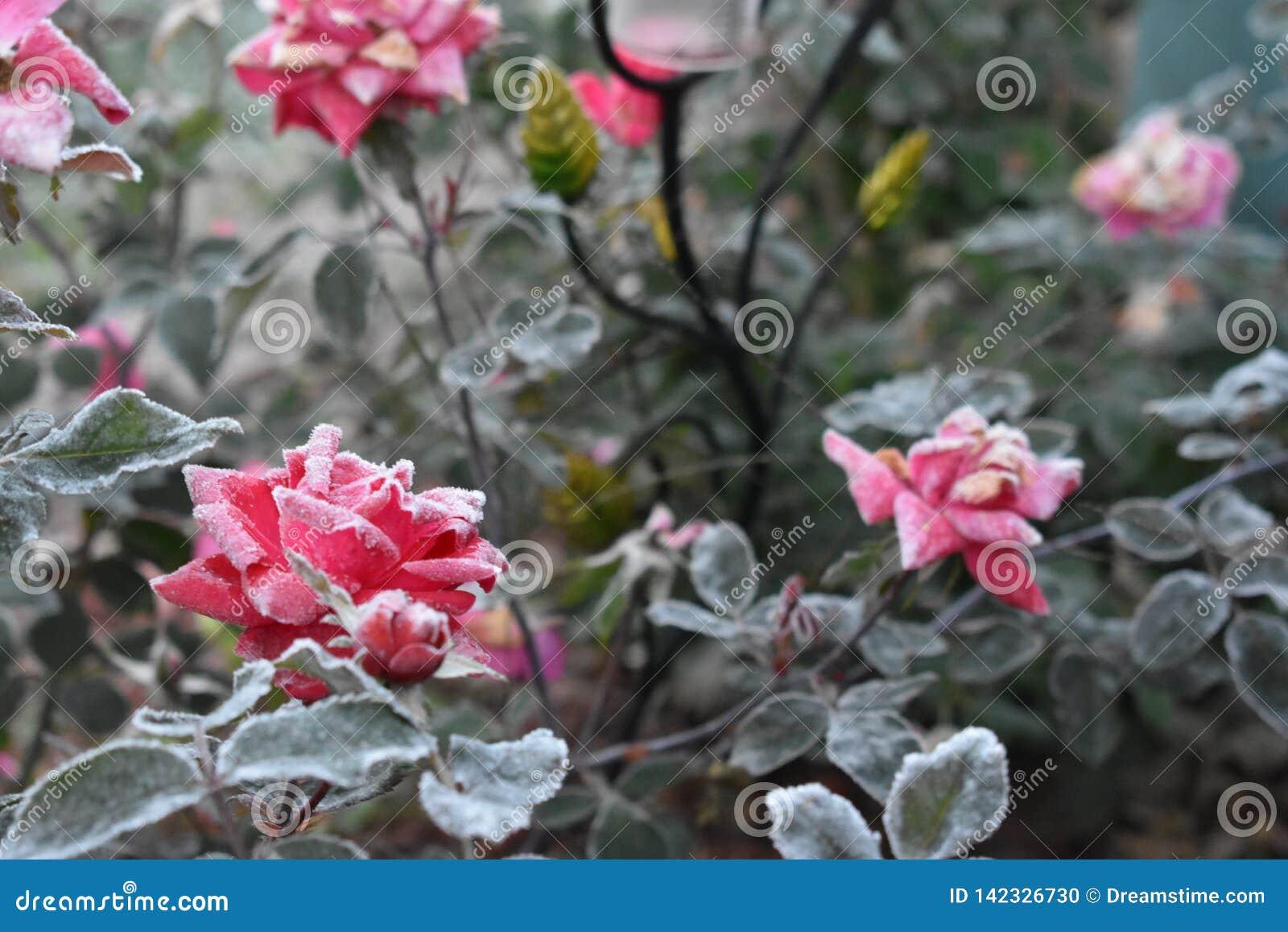 Primeiro Frost em flores de brotamento