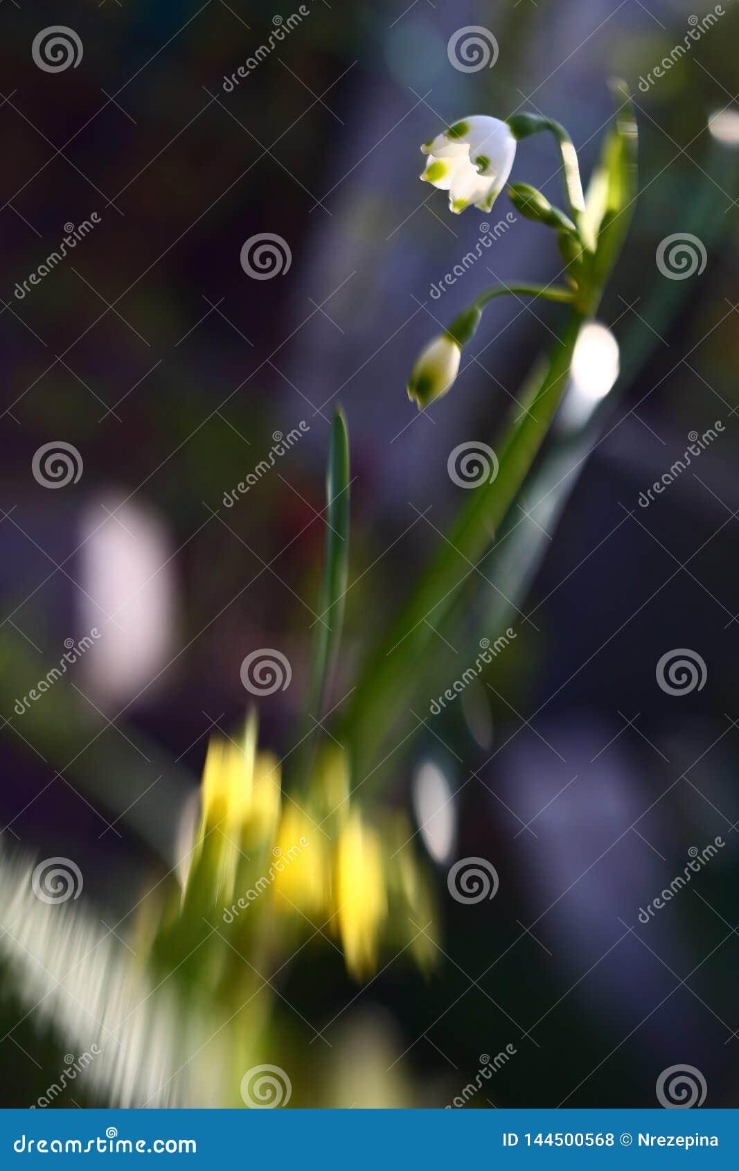 Primeiro snowdrop das flores da mola do campo