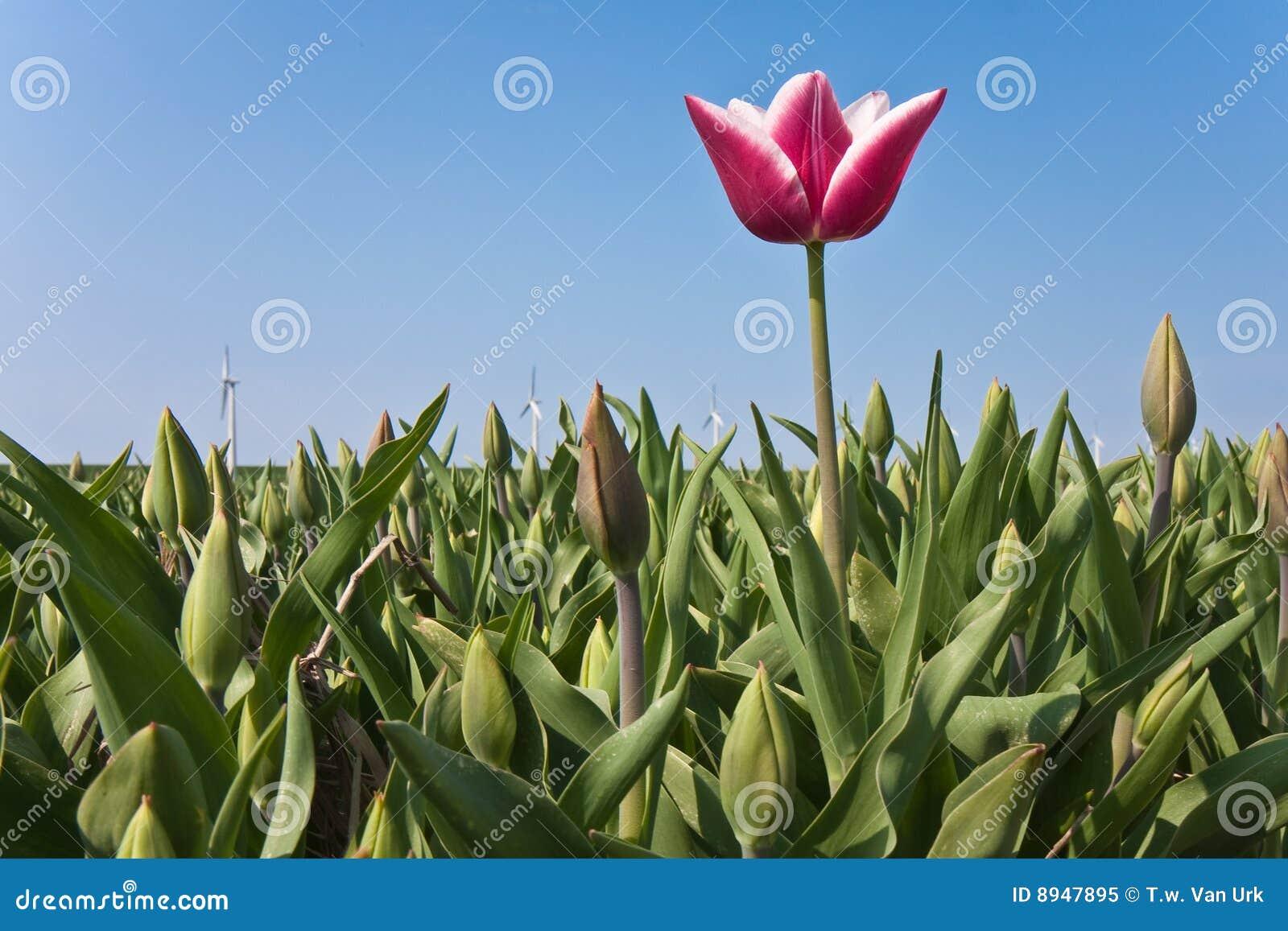 Primeiro tulip