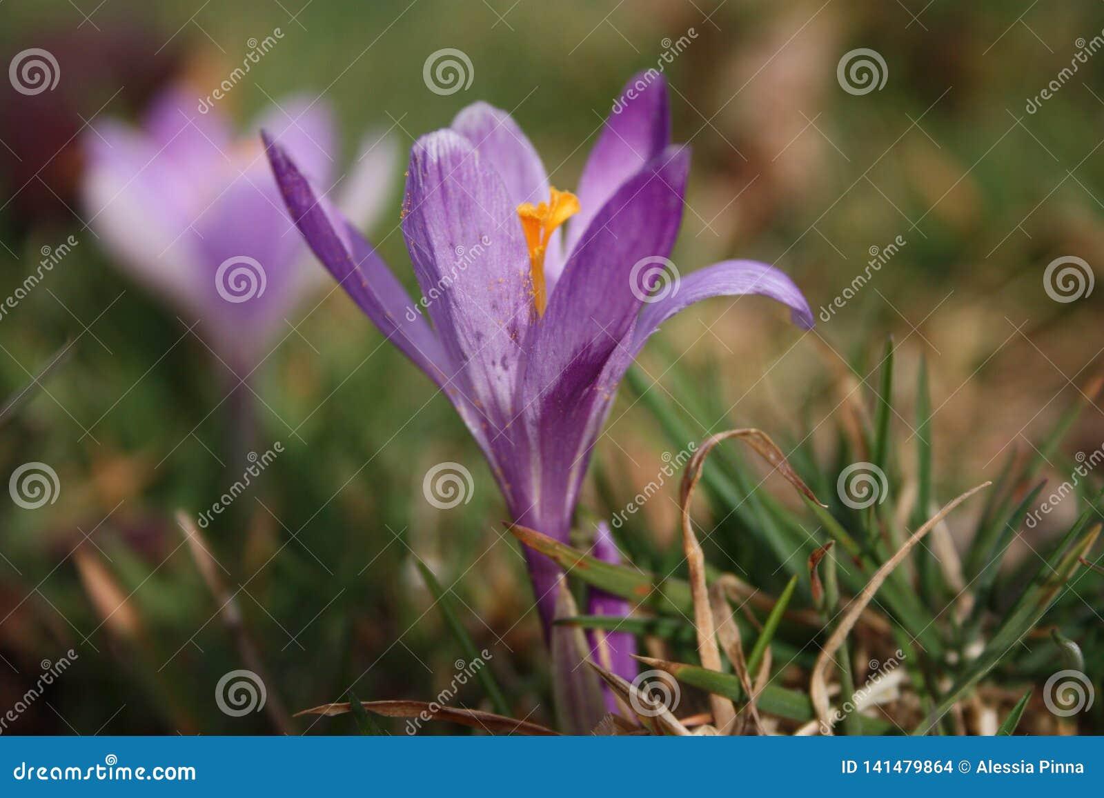 Primeiros frutos das flores A mola está vindo aqui as primeiras plantas da flor de março, a boa estação chegam