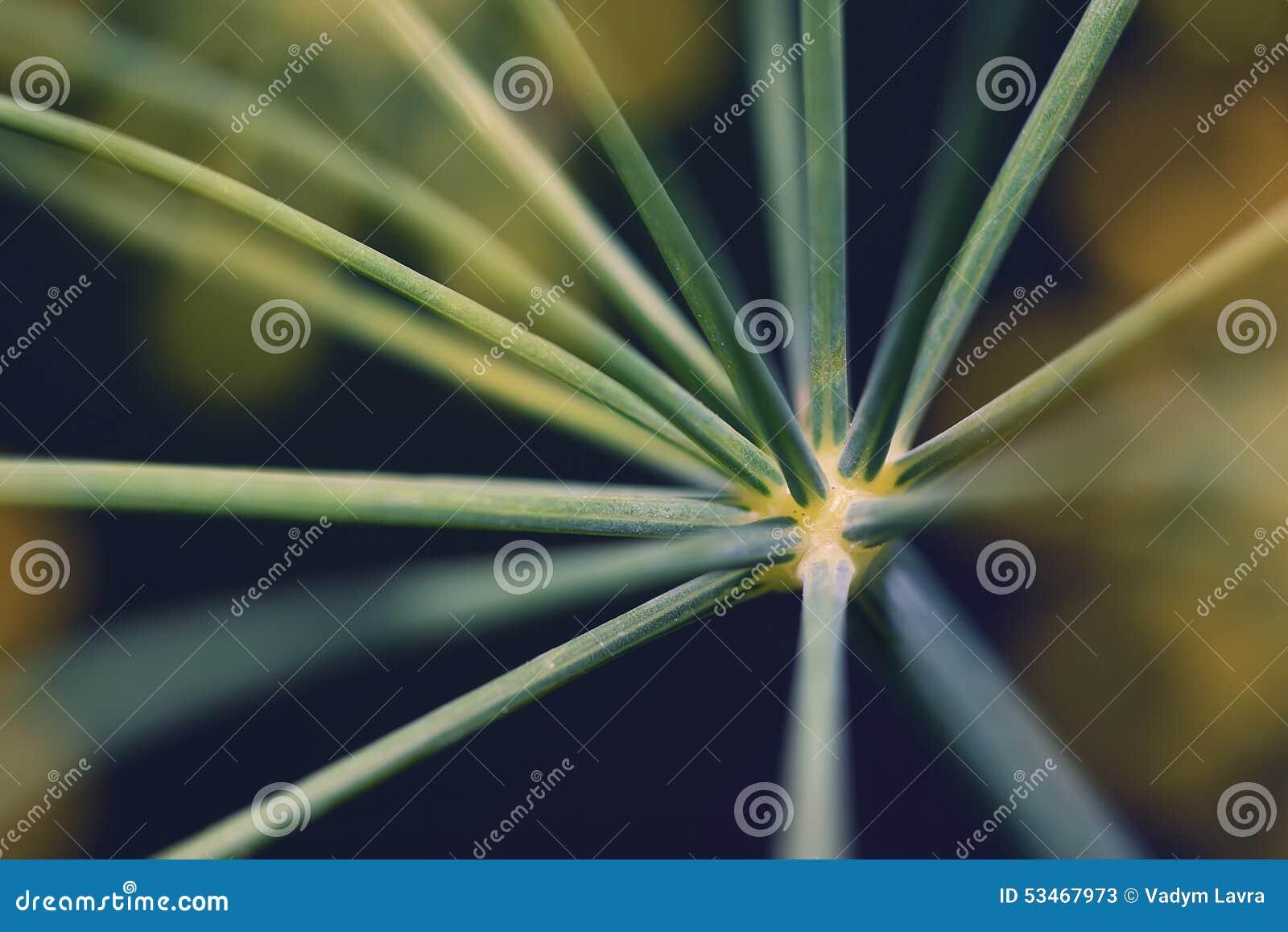 Primer abstracto del eneldo de la inflorescencia