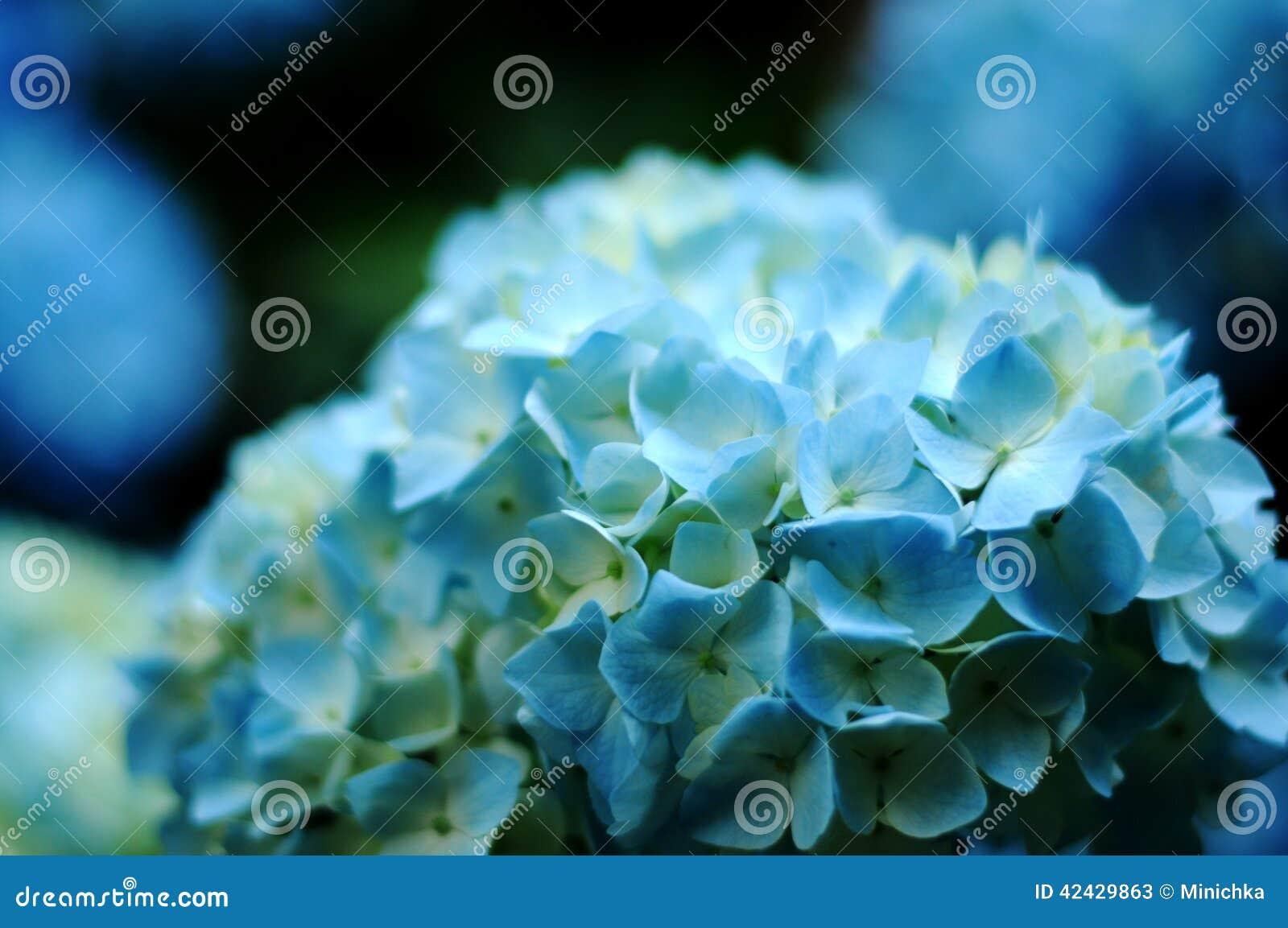 Primer azul de la hortensia