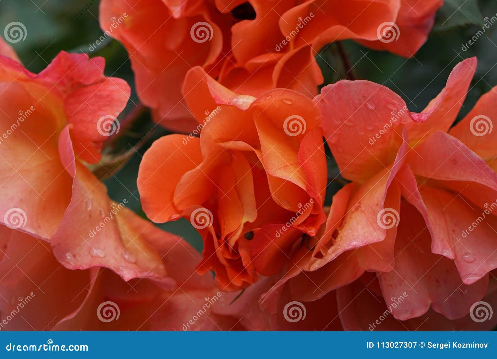 Primer de flores anaranjadas brillantes complejas en la inflorescencia r
