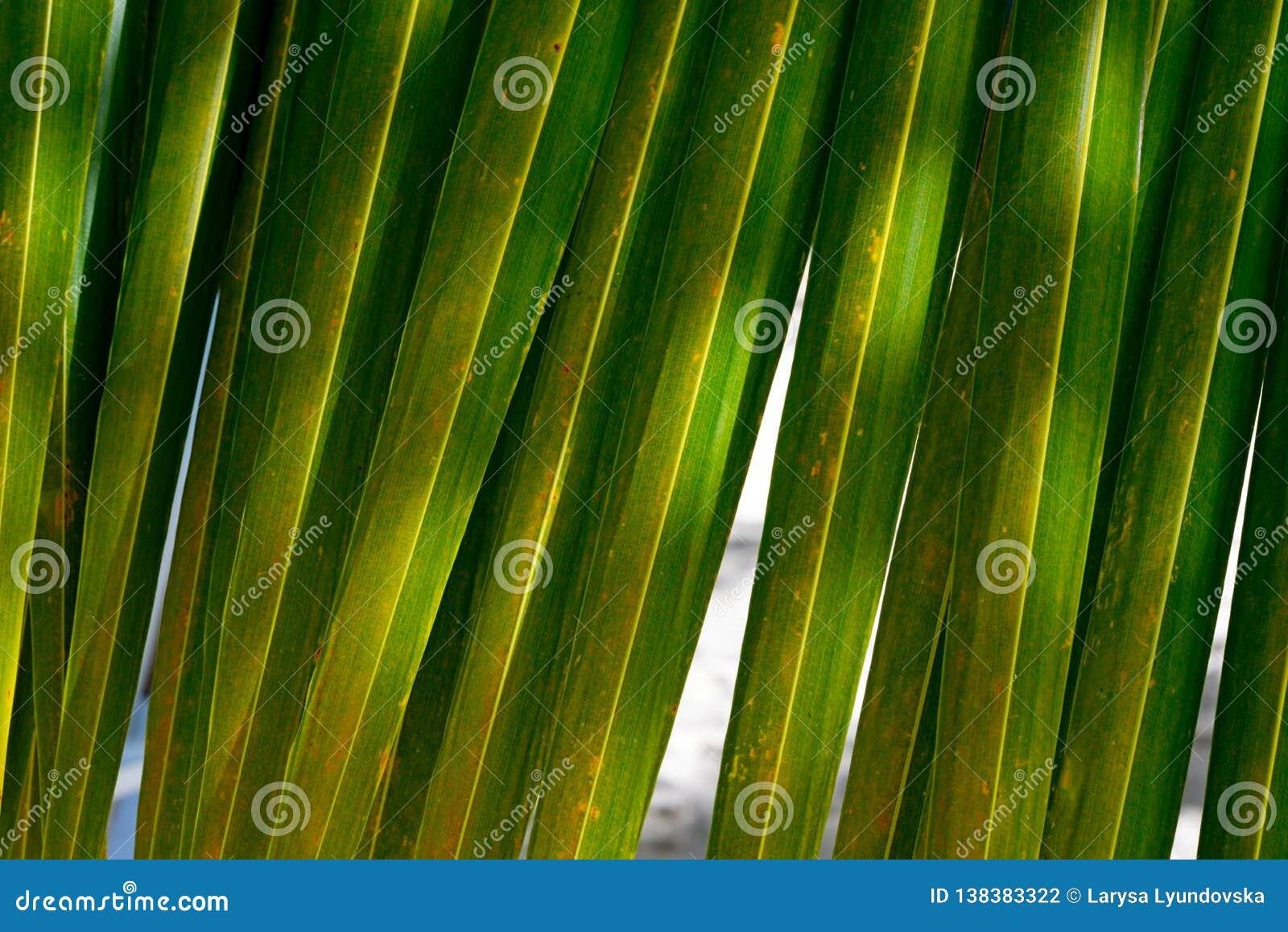 Primer de hoja de palma verde hermoso Fondo brillante Hojas de palma del coco en un día de verano caliente contra el cielo azul