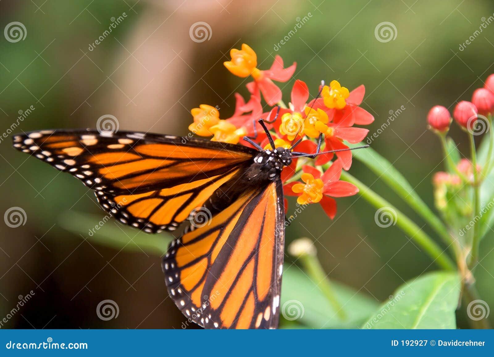 Primer de introducir de la mariposa de monarca