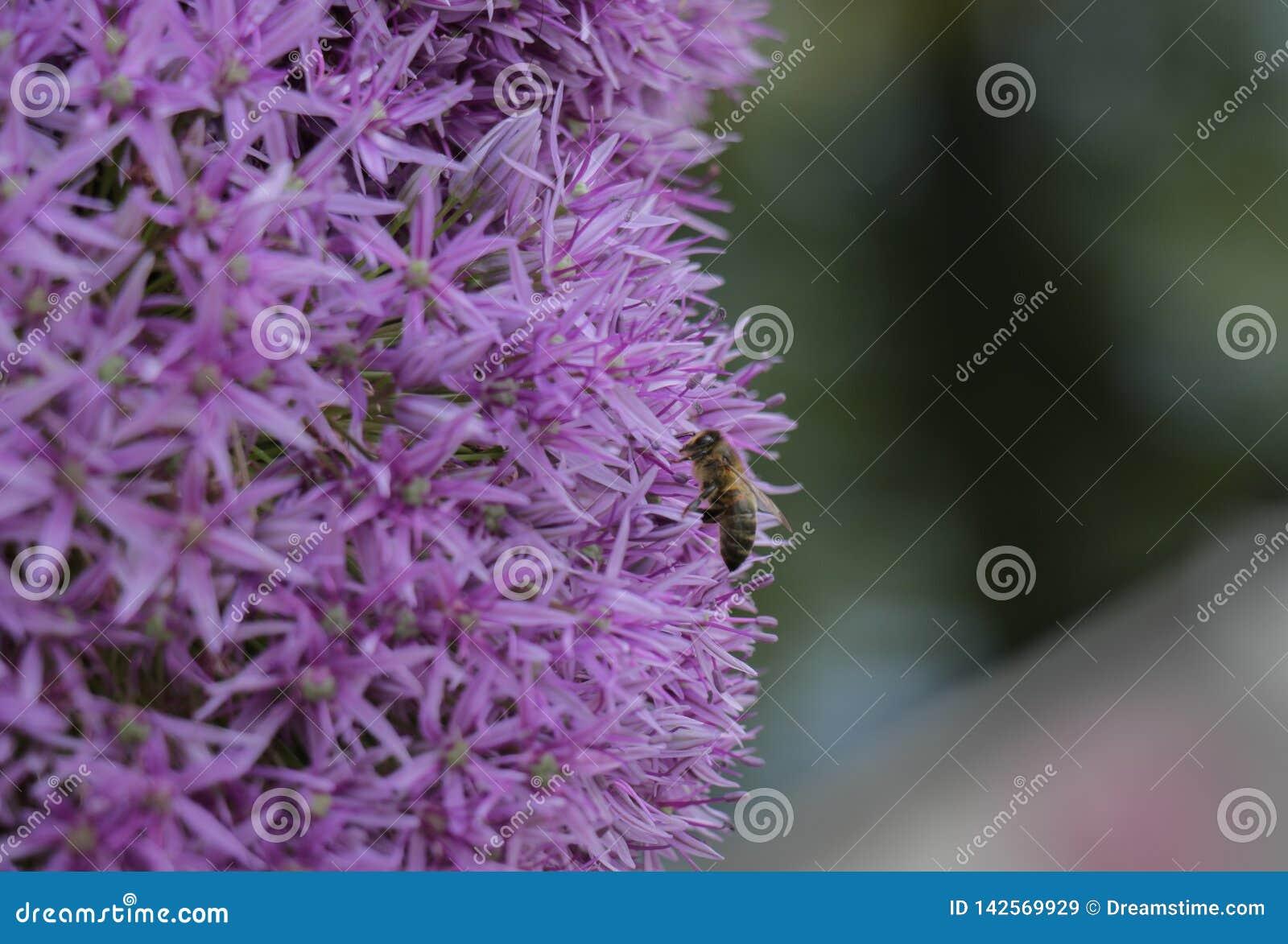 Primer de la abeja que poliniza las flores asteroides púrpuras