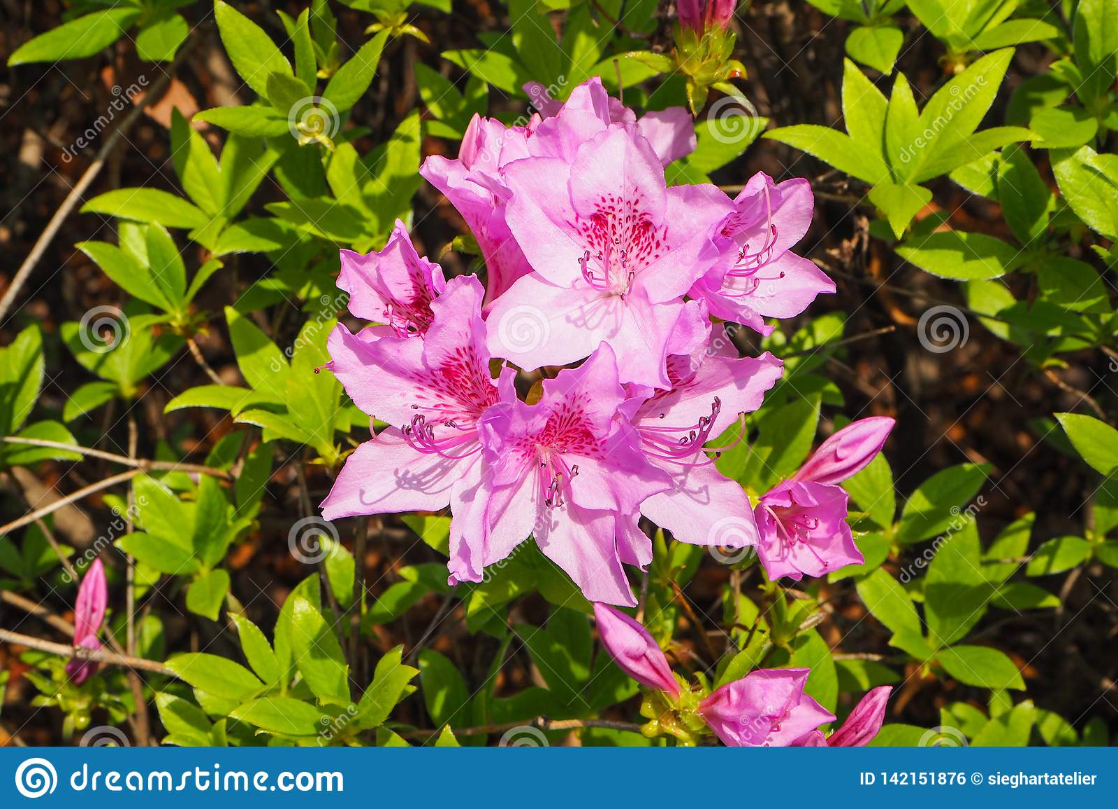 Primer de la azalea púrpura del esplendor