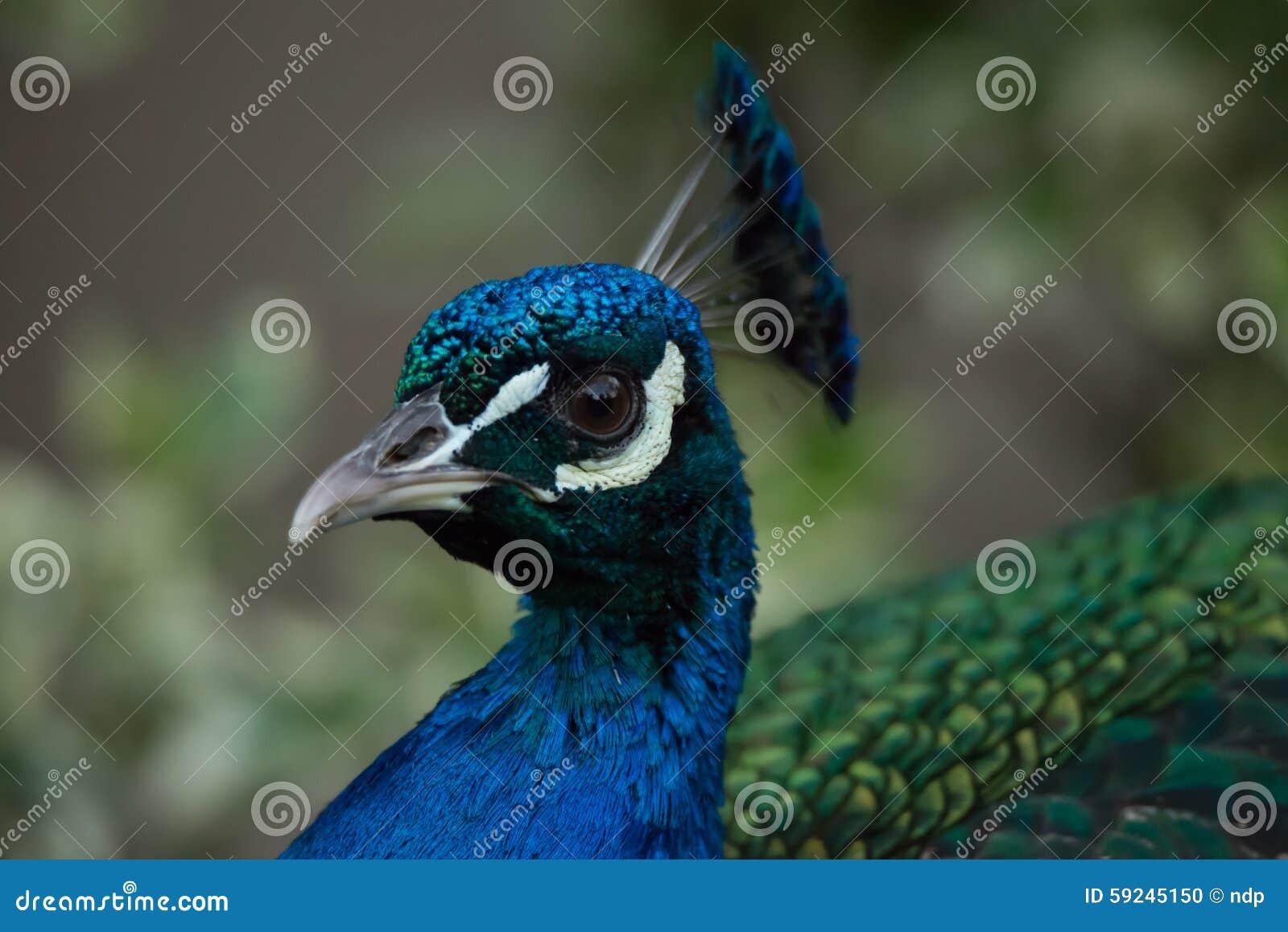Primer de la cámara de mirada principal del pavo real en