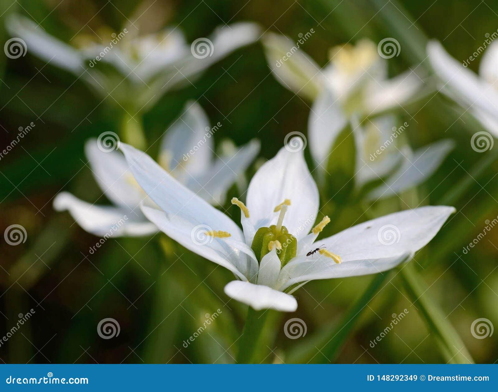 Primer de la estrella de la flor de Belén