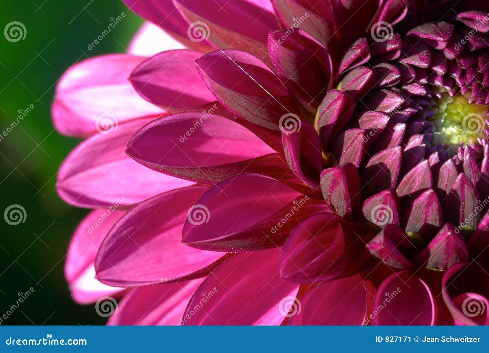 Primer de la flor de la dalia