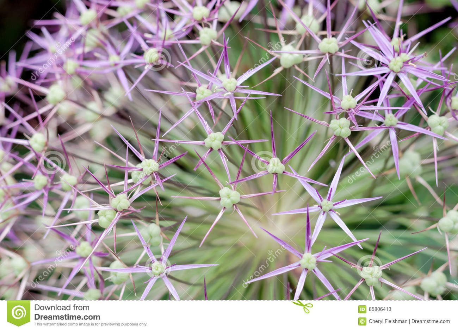 Primer de la flor del allium