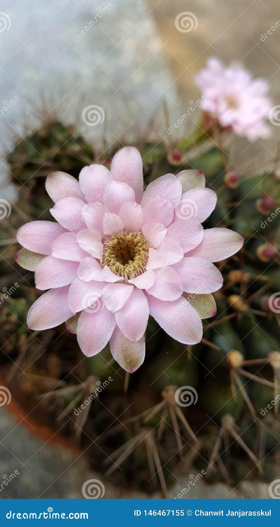 Primer de la flor rosada del cactus con su árbol en el fondo