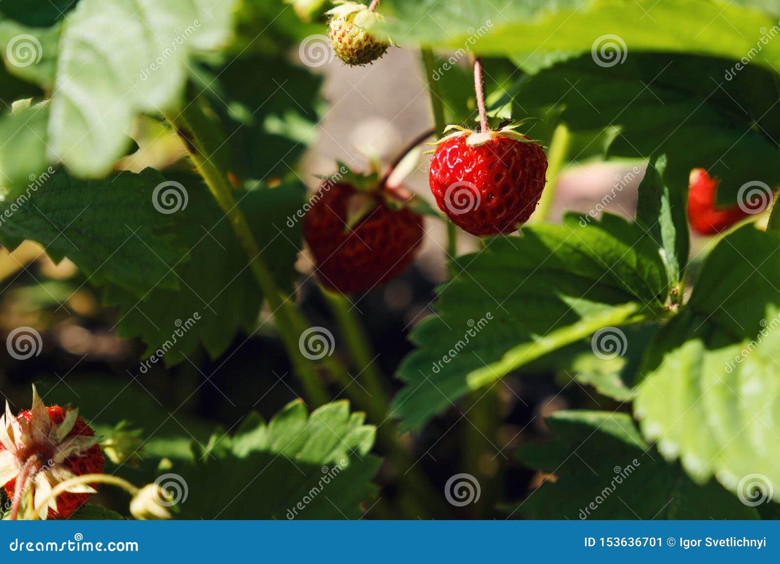 Primer de la fresa madura en el jard?n E Fondo hermoso de la naturaleza