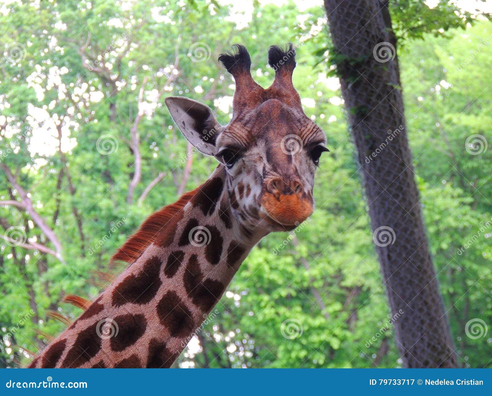 Primer de la jirafa