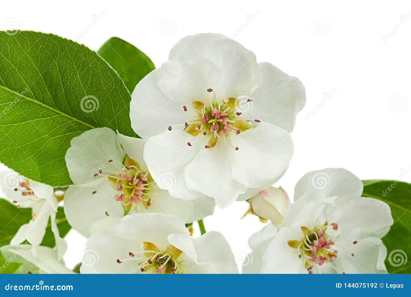 Primer de la rama de la floración de la pera en blanco