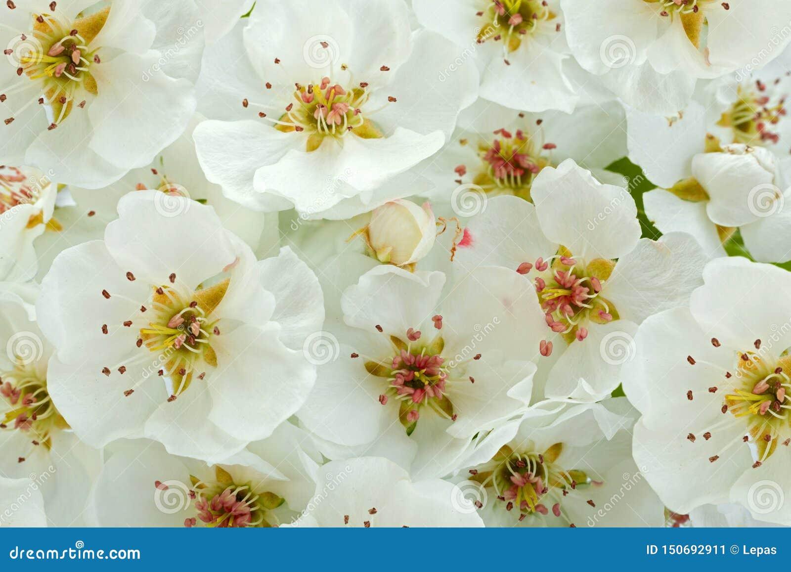 Primer de la rama de la floraci?n de la pera en blanco