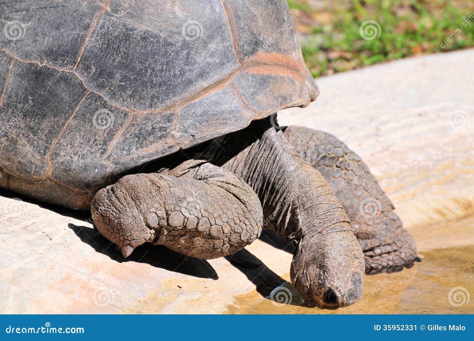 Primer de la tortuga que bebe en la piscina de agua