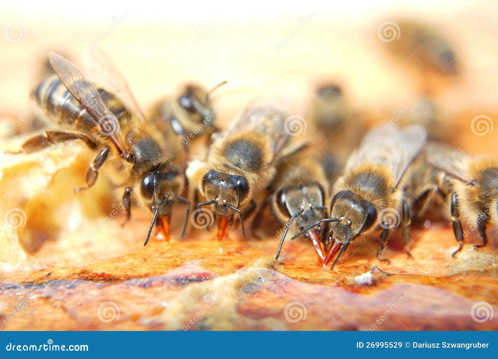 La abejas comen miel