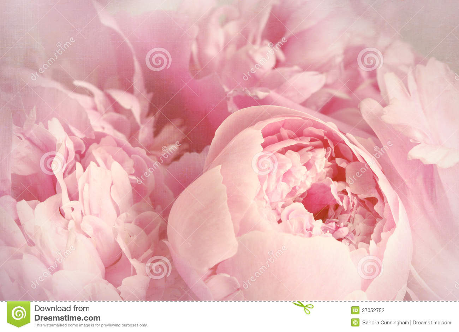 Primer de las flores de la peonía
